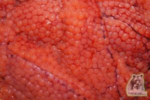 Как разделать свежий лосось на филе, голову, молоки и икру