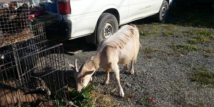 ярмарка в южно-сахалинске коза